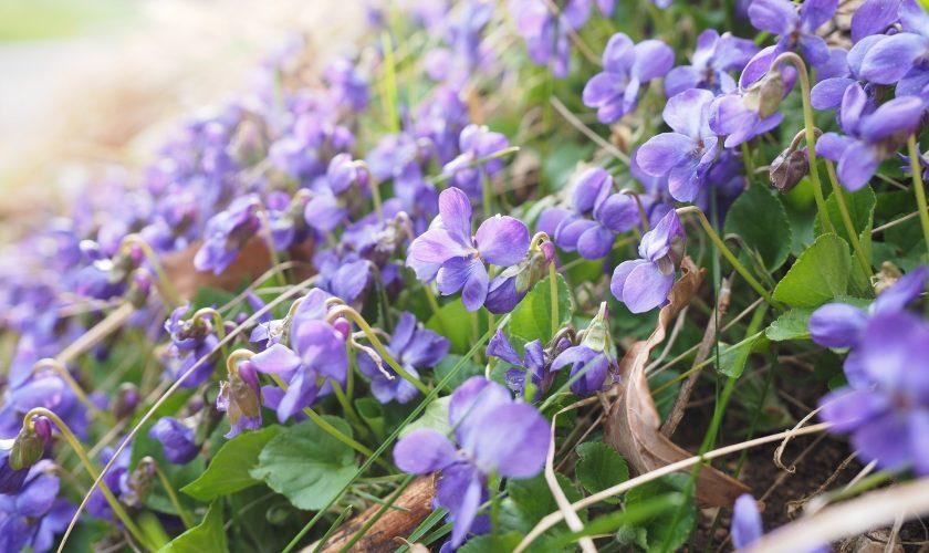 Violet Oxymel