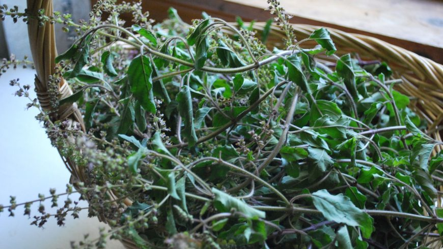 Tulsi is one of several adaptogens that are easy to grow at home.