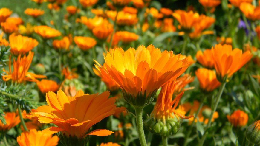 Calendula supports the immune system as a lymphatic herb.