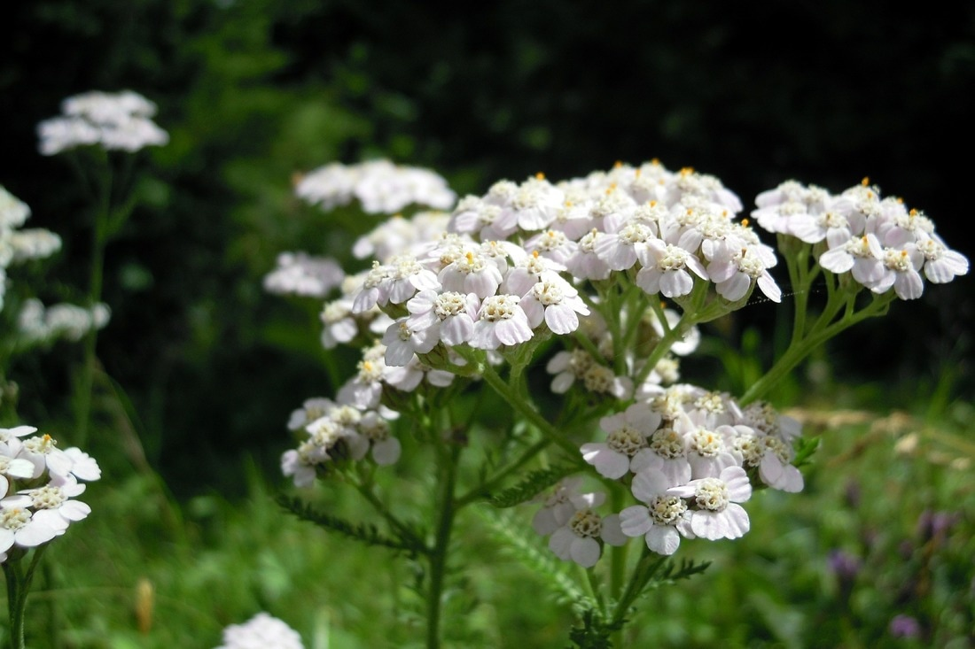 Five Versatile Herbs For Your Perennial Garden