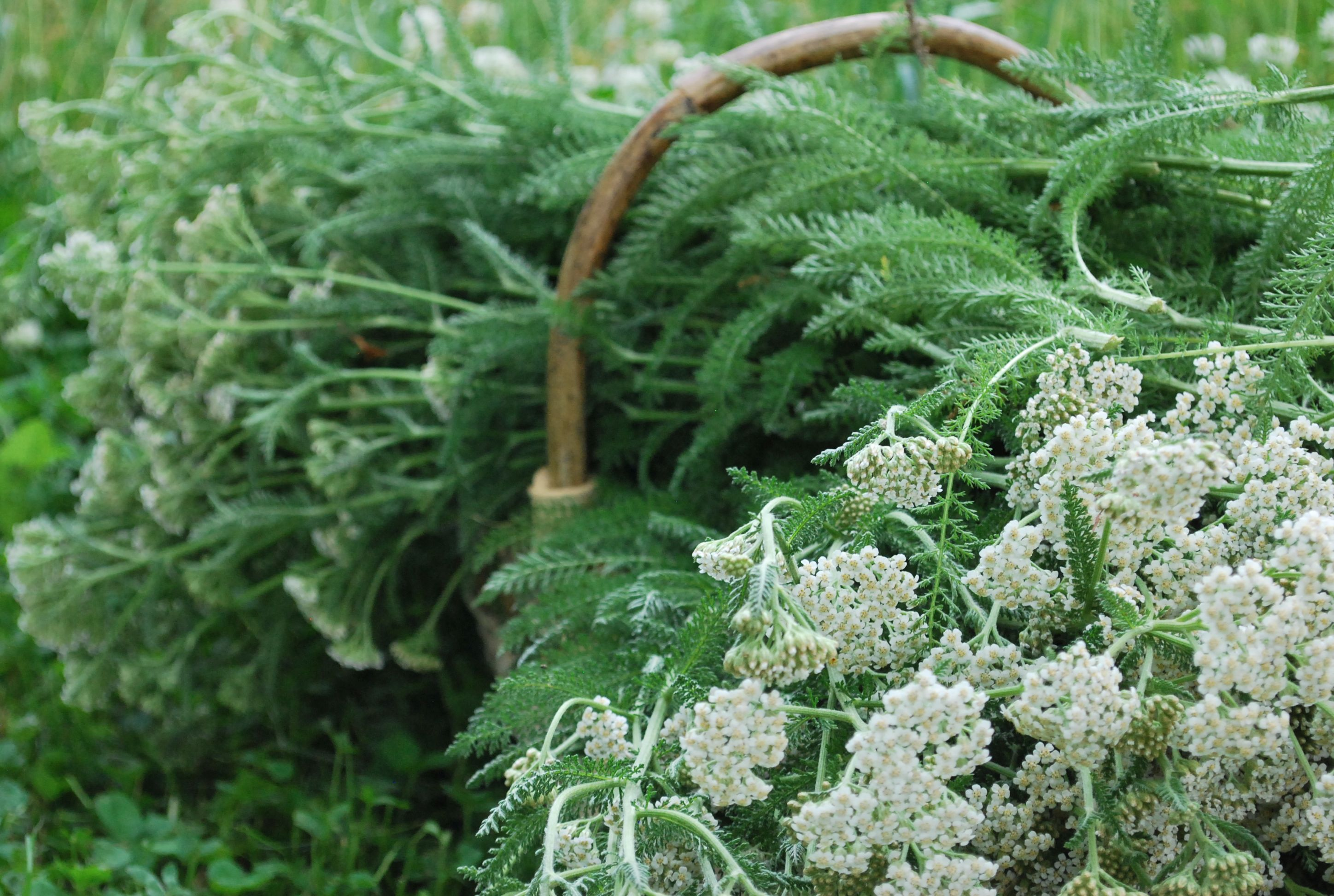 The Best Time to Harvest Yarrow
