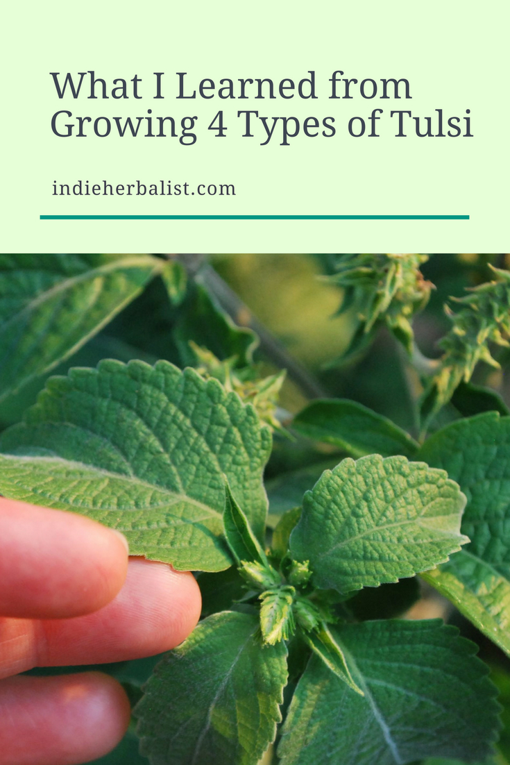 What I learned from growing 4 types of tulsi