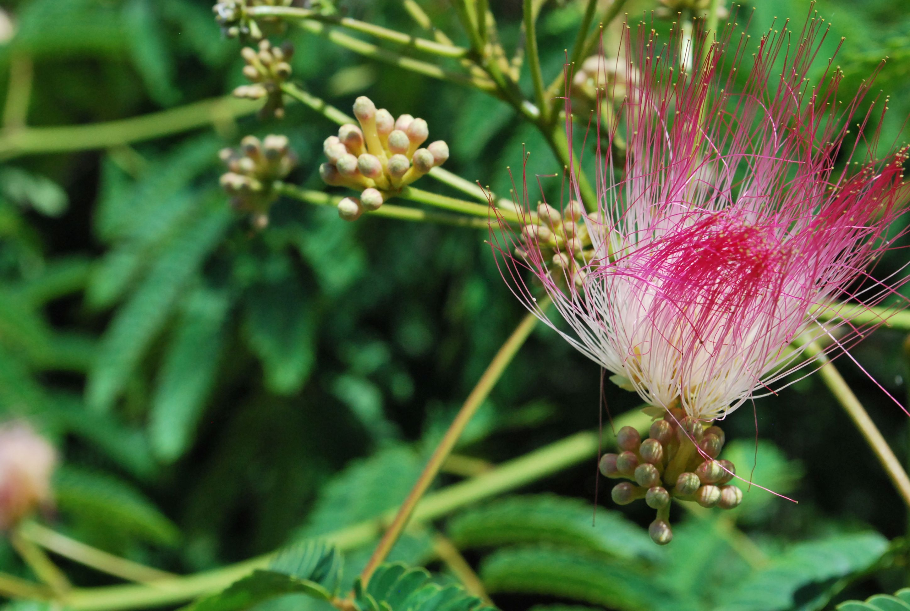 Learn How to Harvest and Use Albizia Flowers and Bark