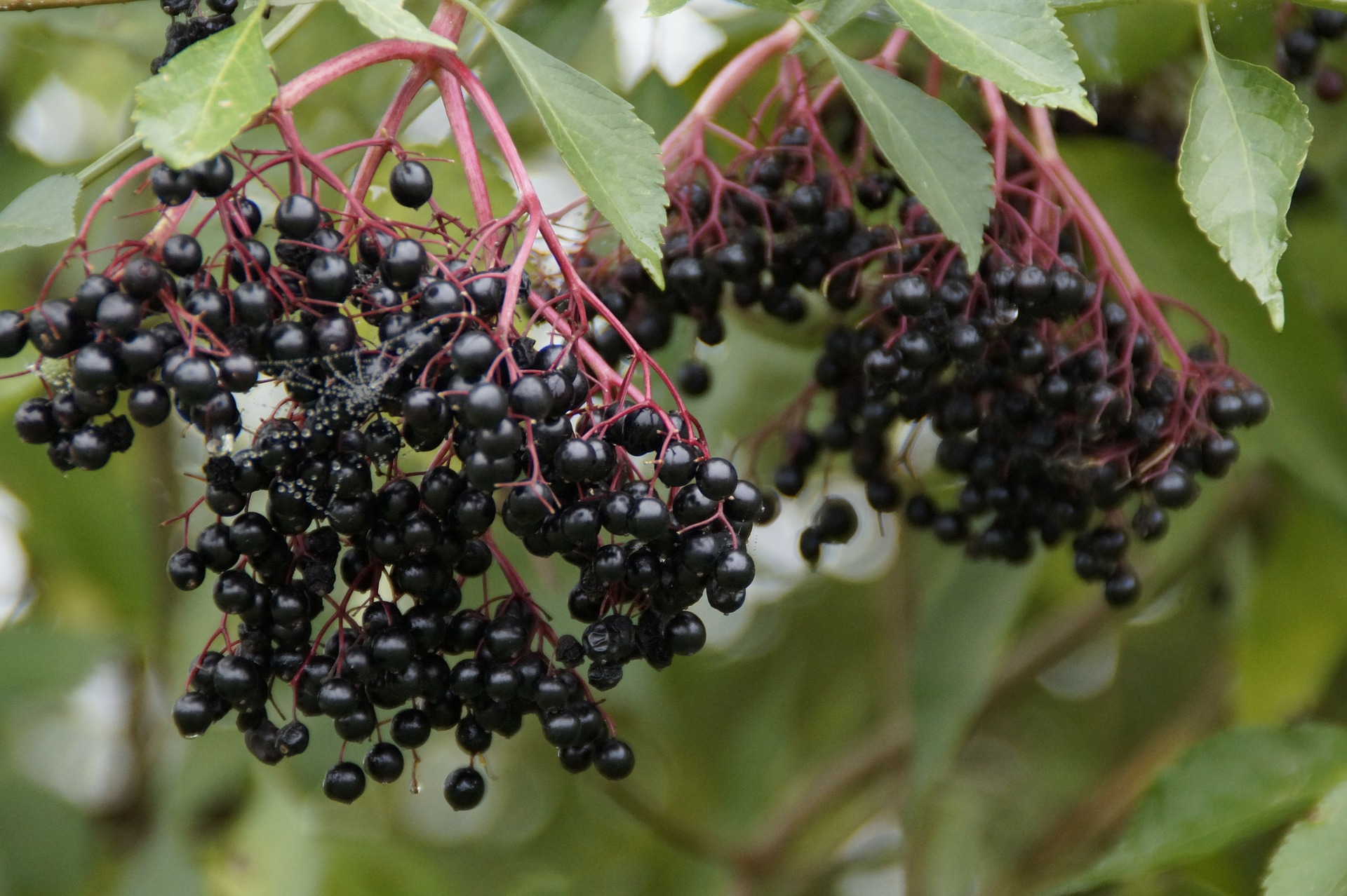 Is Elderberry Safe? Elderberry and the Immune System