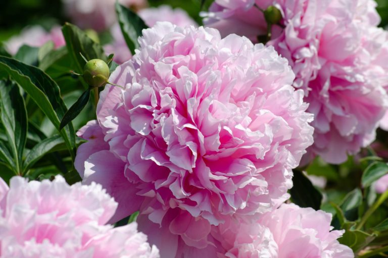 How Herbalists Use Peony