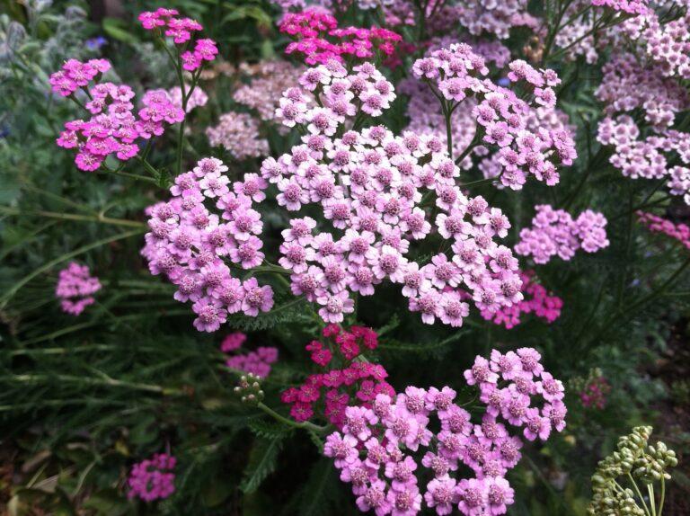 Herbal cultivars, species, and hybrids for safe gardening