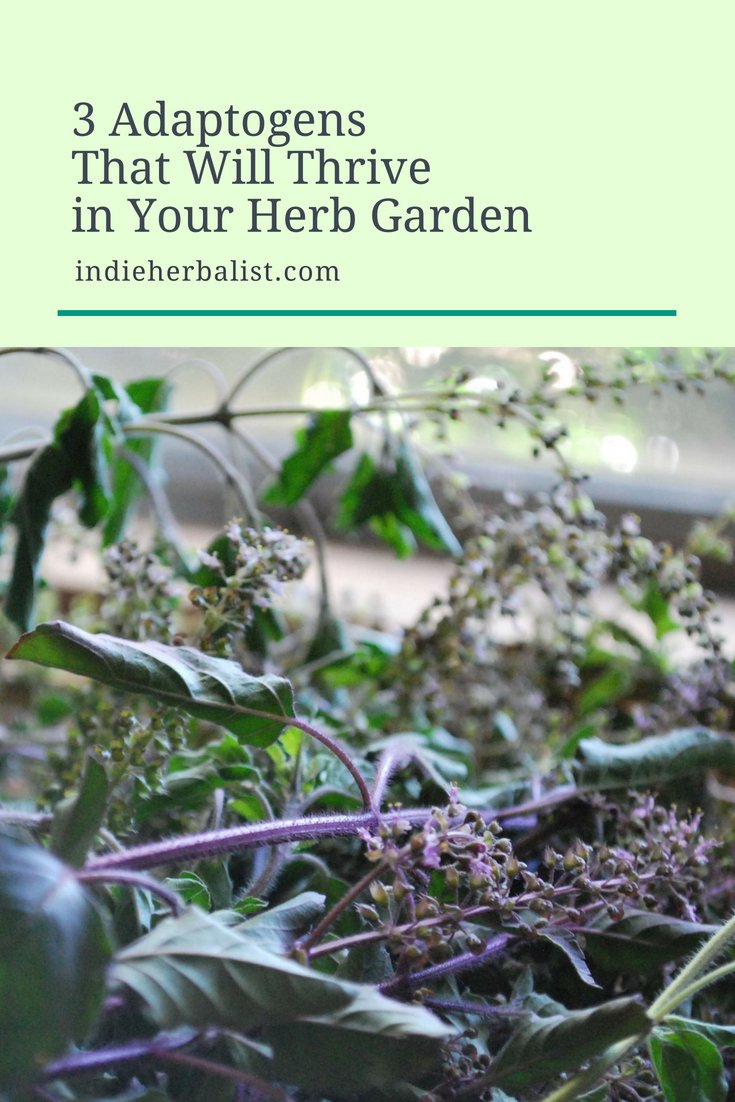 Three Adaptogens That Will Thrive in Your Herb Garden