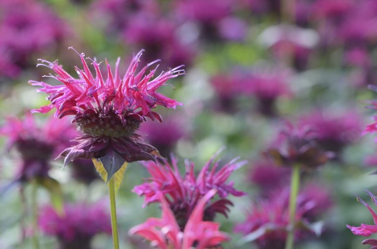 Creative ways to use bee balm in the kitchen