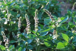 Growing tulsi in a home garden is easy and rewarding.