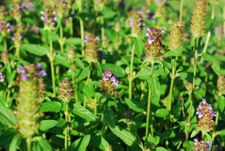 Learn Some Common Names for Self Heal