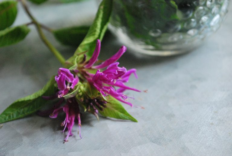 Using Bee Balm for Emotional Wellness