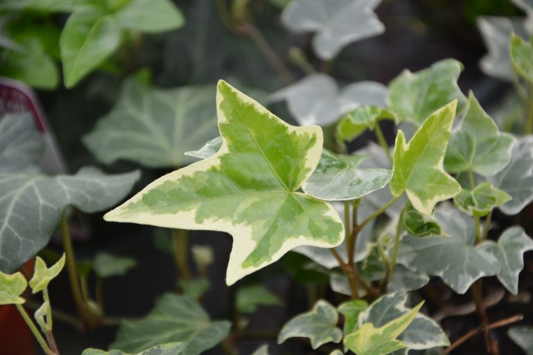 Historic and Modern Herbal Uses for Ivy