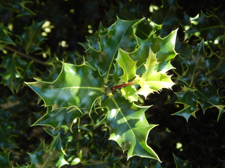 Exploring the Herbal Uses of Holly in Global Traditions