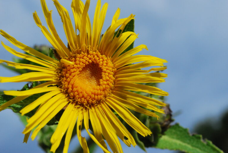 An Introduction to Elecampane Herb