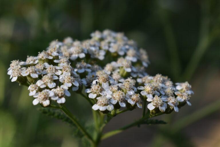 5 versatile herbs for a perennial garden